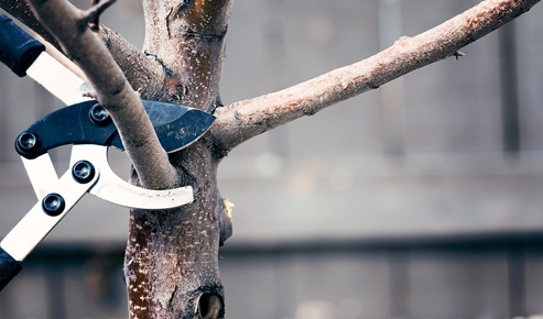 Pair of shears getting ready to cut a branch on a tree