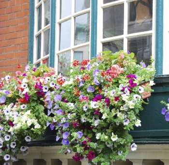 WIndow Boxes: Petunias